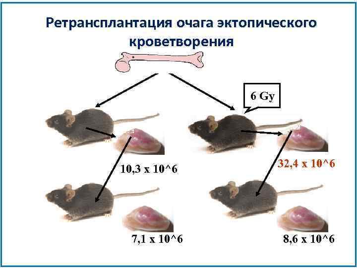 Ретрансплантация очага эктопического кроветворения 6 Gy 10, 3 x 10^6 7, 1 x 10^6
