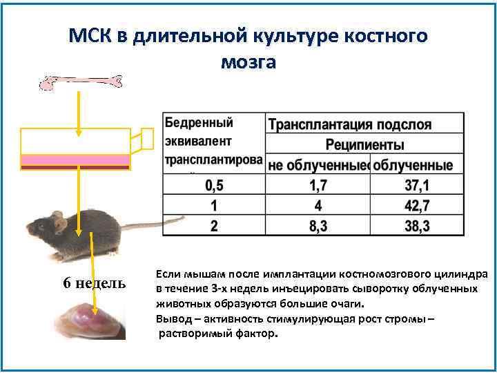 МСК в длительной культуре костного мозга 6 недель Если мышам после имплантации костномозгового цилиндра