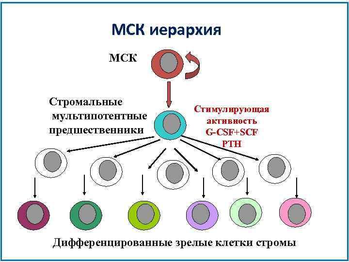 МСК иерархия МСК Стромальные мультипотентные предшественники Стимулирующая aктивность G-CSF+SCF PTH Дифференцированные зрелые клетки стромы