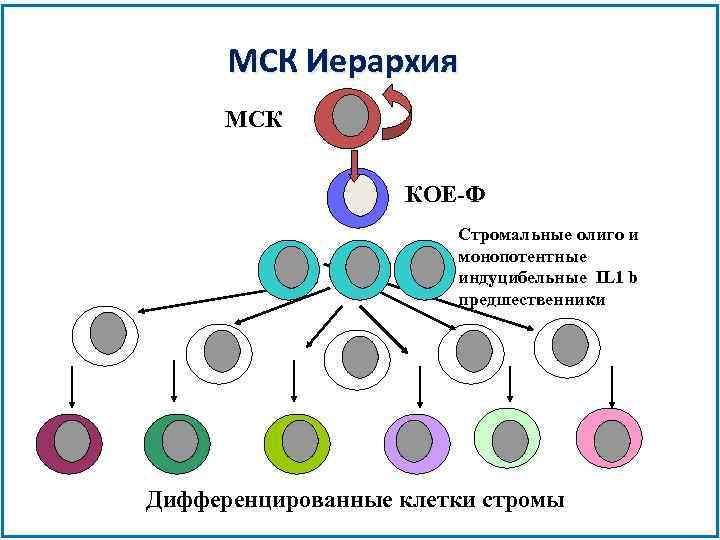 МСК Иерархия МСК КОЕ-Ф Стромальные олиго и монопотентные индуцибельные IL 1 b предшественники Дифференцированные