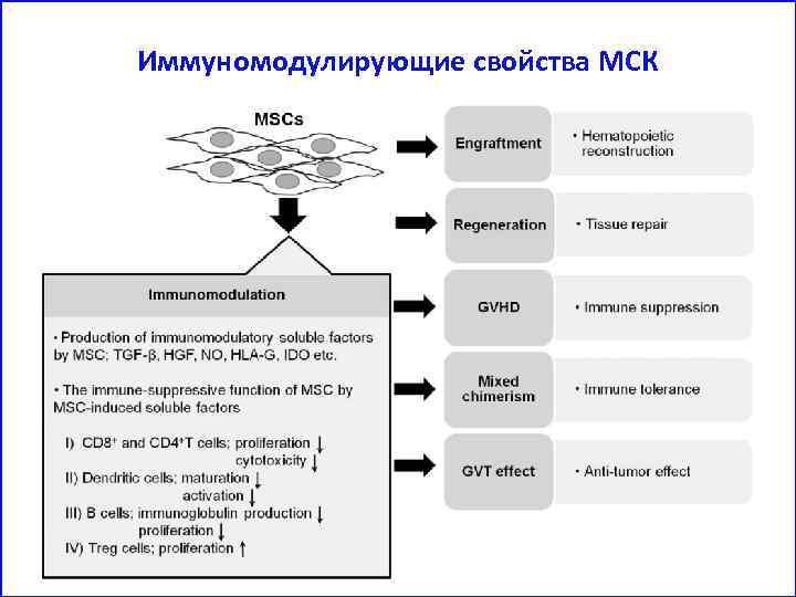 Иммуномодулирующие свойства МСК