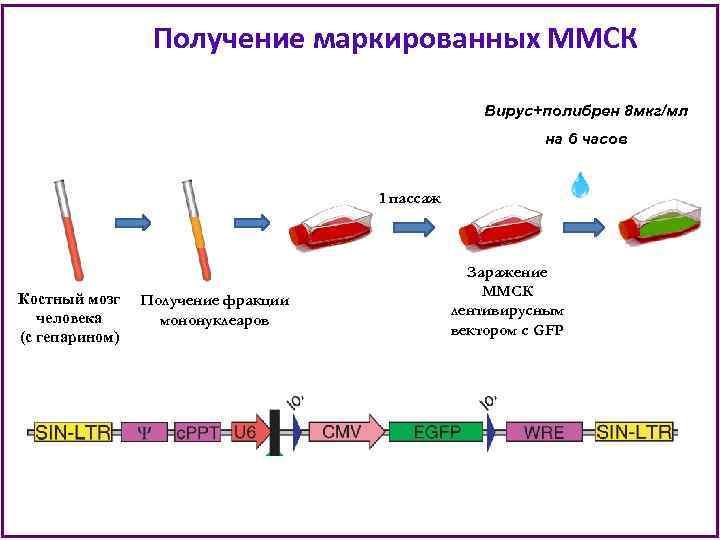 Получение маркированных ММСК Вирус+полибрен 8 мкг/мл на 6 часов 1 пассаж Костный мозг Получение