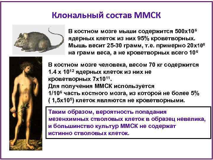 Клональный состав ММСК В костном мозге мыши содержится 500 х106 ядерных клеток из них