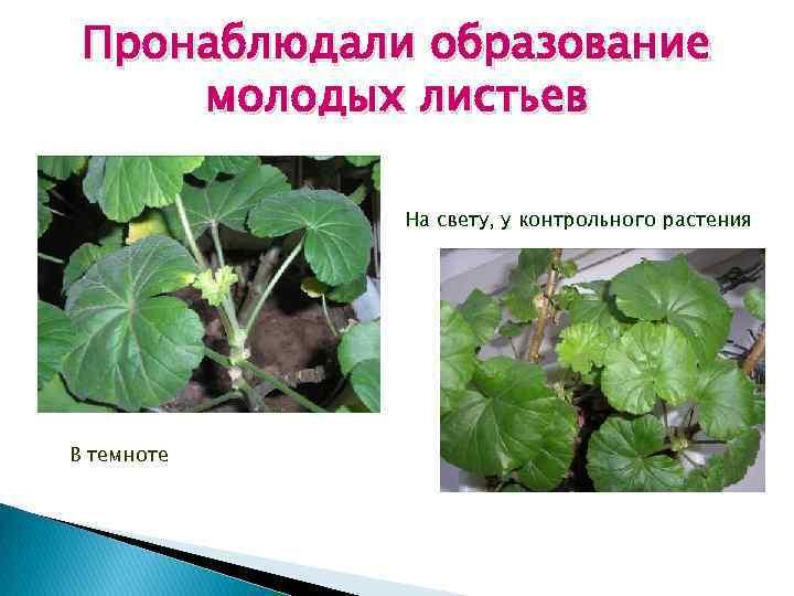 Пронаблюдали образование молодых листьев На свету, у контрольного растения В темноте