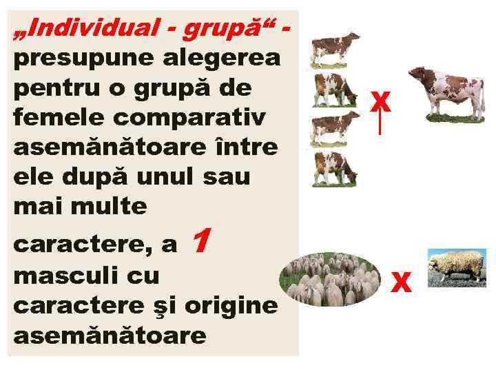"""""""Individual - grupă"""" presupune alegerea pentru o grupă de femele comparativ asemănătoare între ele"""