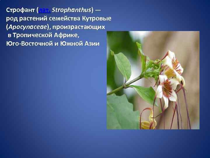 Строфант (лат. Strophanthus) — род растений семейства Кутровые (Apocynaceae), произрастающих в Тропической Африке, Юго-Восточной