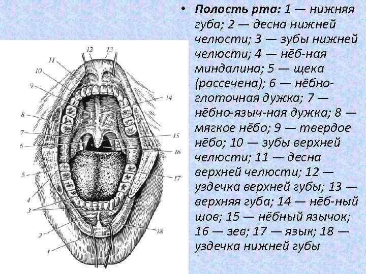 рисунок полости рта человека удивление