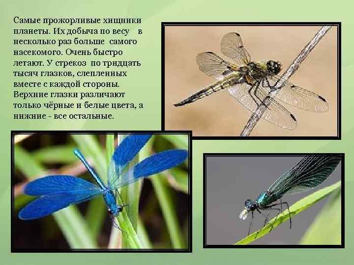 Самые прожорливые хищники планеты. Их добыча по весу в несколько раз больше самого насекомого.
