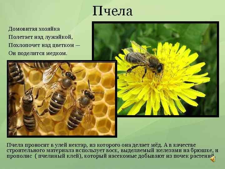Пчела Домовитая хозяйка Полетает над лужайкой, Похлопочет над цветком — Он поделится медком. Пчела