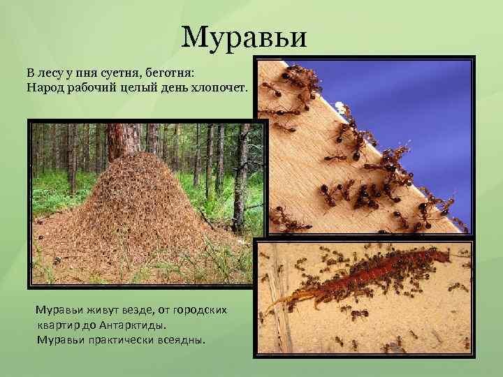 Муравьи В лесу у пня суетня, беготня: Народ рабочий целый день хлопочет. Муравьи живут