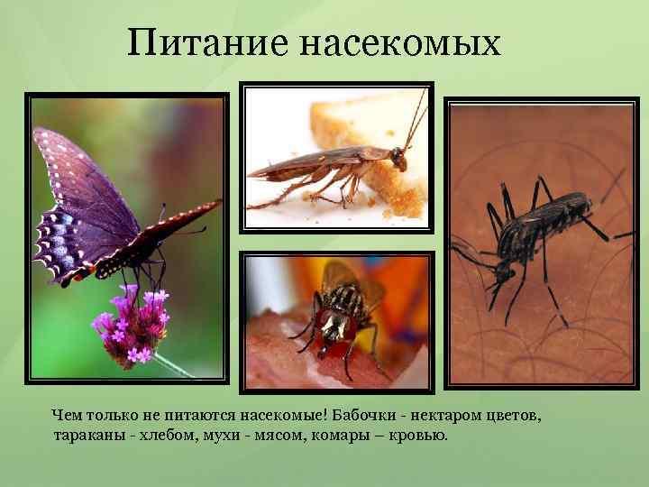 Питание насекомых Чем только не питаются насекомые! Бабочки - нектаром цветов, тараканы - хлебом,