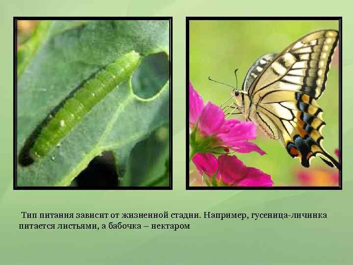 Тип питания зависит от жизненной стадии. Например, гусеница-личинка питается листьями, а бабочка –
