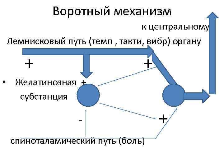 Воротный механизм к центральному Лемнисковый путь (темп , такти, вибр) органу + • Желатинозная