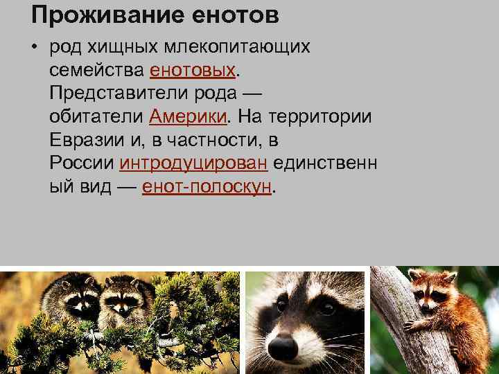 Проживание енотов • род хищных млекопитающих семейства енотовых. Представители рода — обитатели Америки. На
