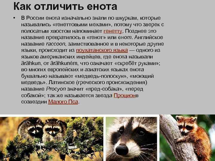 Как отличить енота • В России енота изначально знали по шкуркам, которые назывались «генеттовыми