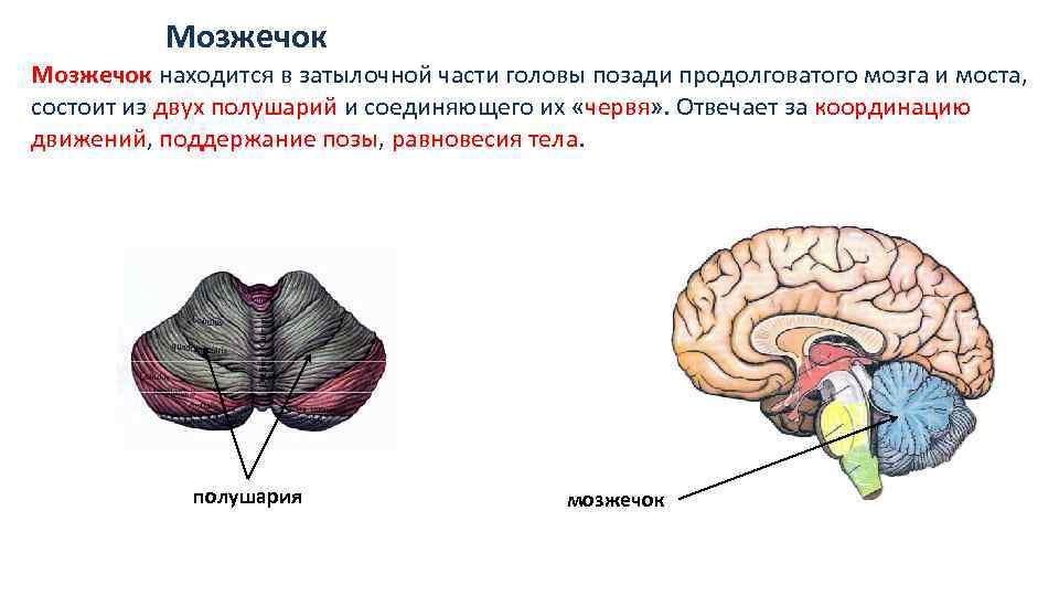 картинка где находится мозжечок