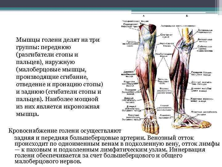 Мышцы голени делят на три группы: переднюю (разгибатели стопы и пальцев), наружную (малоберцовые мышцы,