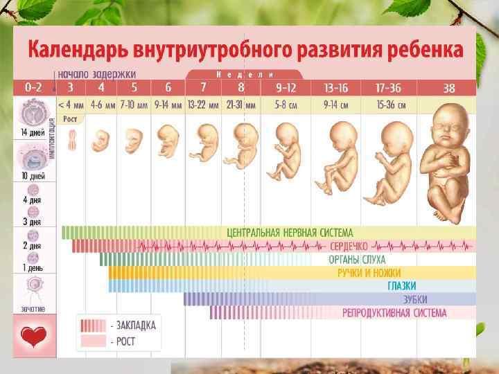 Беременность по неделям развитие картинки
