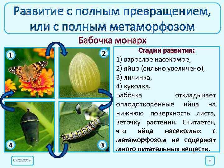 Развитие с полным превращением, или с полным метаморфозом Бабочка монарх 1 2 4 3