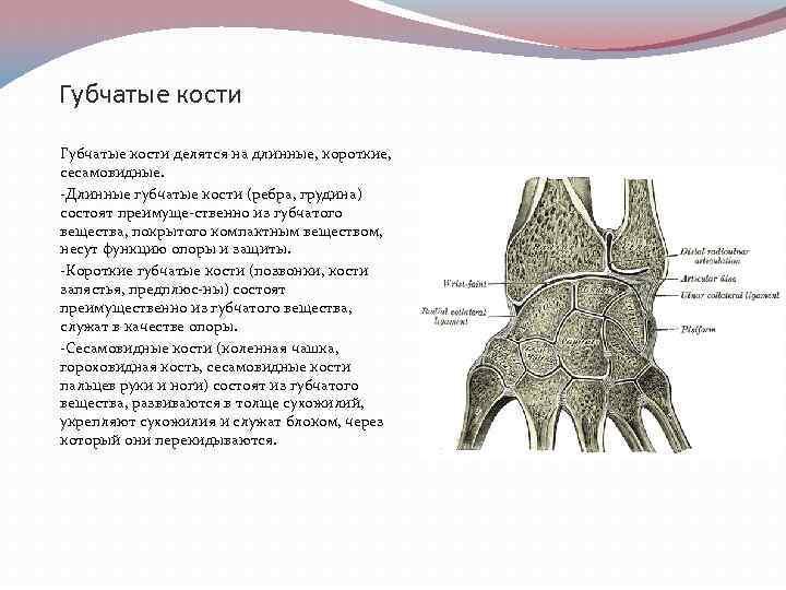 Губчатые кости картинки