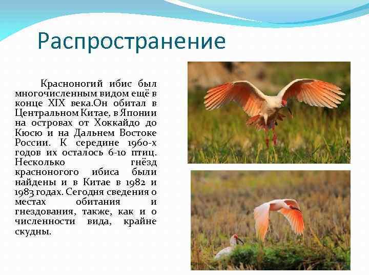 Распространение Красноногий ибис был многочисленным видом ещё в конце XIX века. Он обитал в