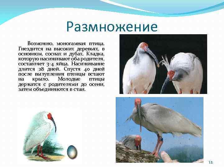 Размножение Возможно, моногамная птица. Гнездится на высоких деревьях, в основном, соснах и дубах. Кладка,