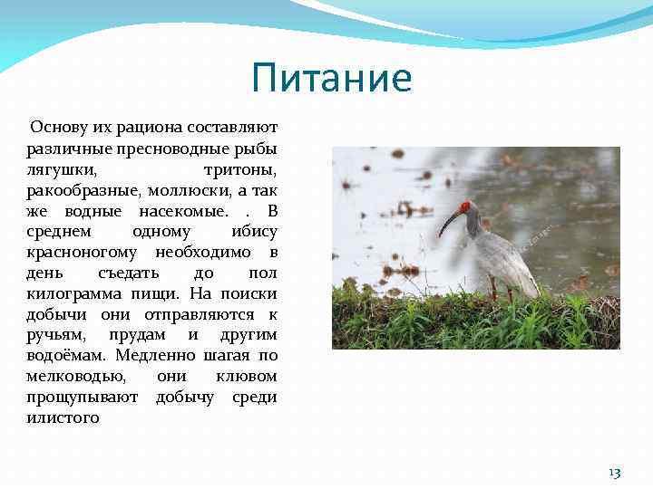 Питание Основу их рациона составляют различные пресноводные рыбы лягушки, тритоны, ракообразные, моллюски, а так