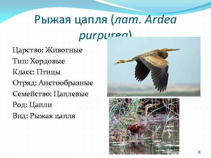 Рыжая цапля (лат. Ardea purpurea) Царство: Животные Тип: Хордовые Класс: Птицы Отряд: Аистообразные Семейство: