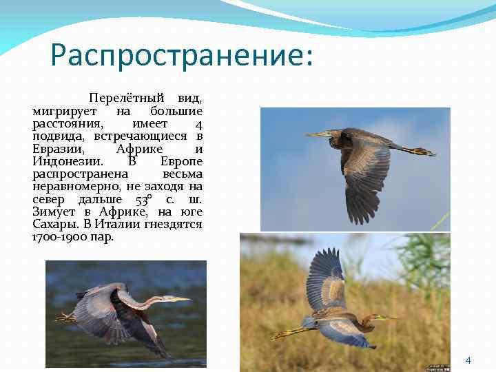 Распространение: Перелётный вид, мигрирует на большие расстояния, имеет 4 подвида, встречающиеся в Евразии, Африке