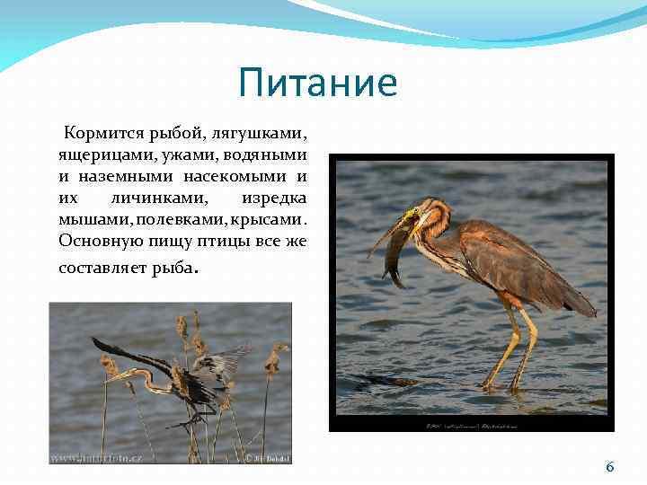 Питание Кормится рыбой, лягушками, ящерицами, ужами, водяными и наземными насекомыми и их личинками, изредка