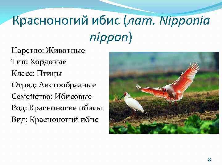 Красноногий ибис (лат. Nipponia nippon) Царство: Животные Тип: Хордовые Класс: Птицы Отряд: Аистообразные Семейство: