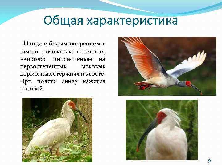 Общая характеристика Птица с белым оперением с нежно розоватым оттенком, наиболее интенсивным на первостепенных