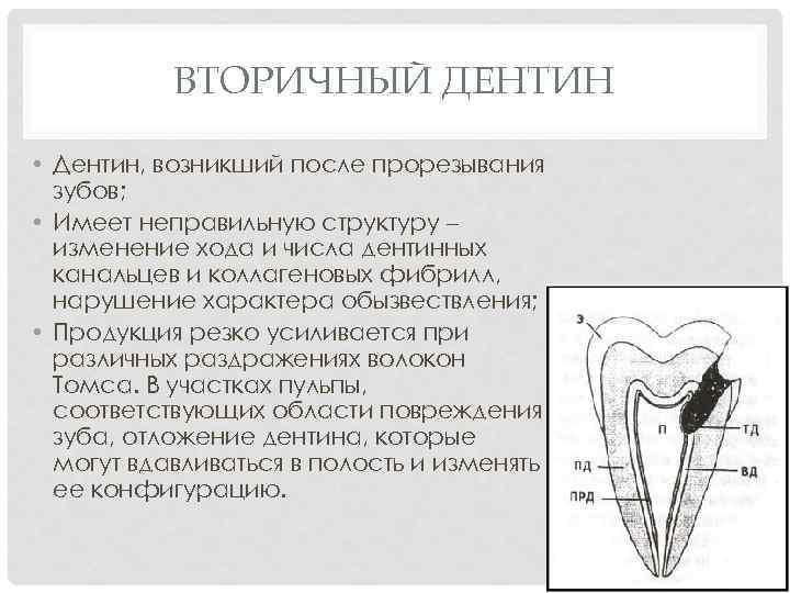 ВТОРИЧНЫЙ ДЕНТИН • Дентин, возникший после прорезывания зубов; • Имеет неправильную структуру – изменение