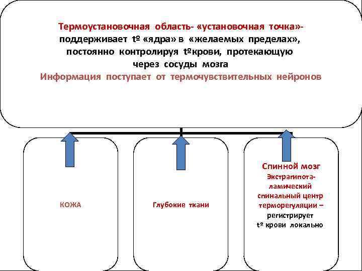 ЦЕНТР ТЕРМОРЕГУЛЯЦИИ Термоустановочная область- «установочная точка» преоптическая область передней части поддерживает tº «ядра» в
