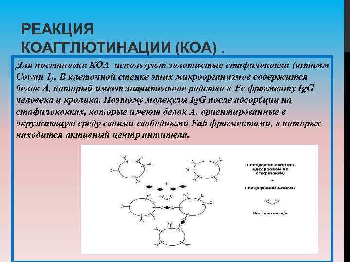 РЕАКЦИЯ КОАГГЛЮТИНАЦИИ (КОА). Для постановки КОА используют золотистые стафилококки (штамм Cowan 1). В клеточной