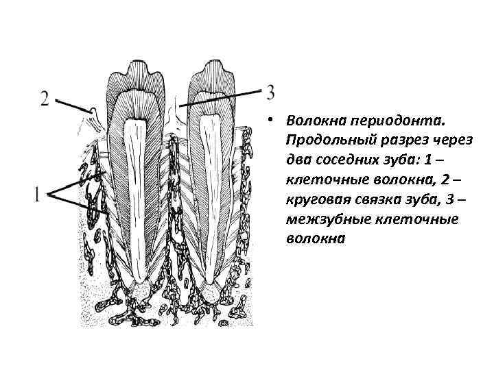 картинка строения волокон периодонта позитив