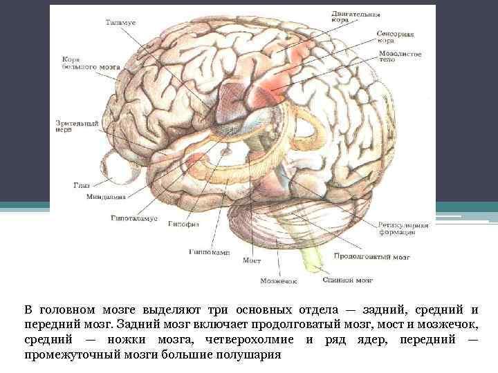 В головном мозге выделяют три основных отдела — задний, средний и передний мозг. Задний