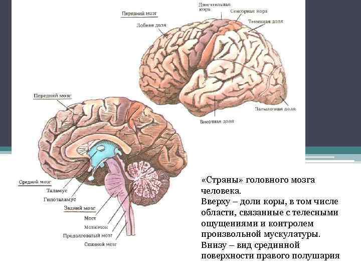 «Страны» головного мозга человека. Вверху – доли коры, в том числе области, связанные