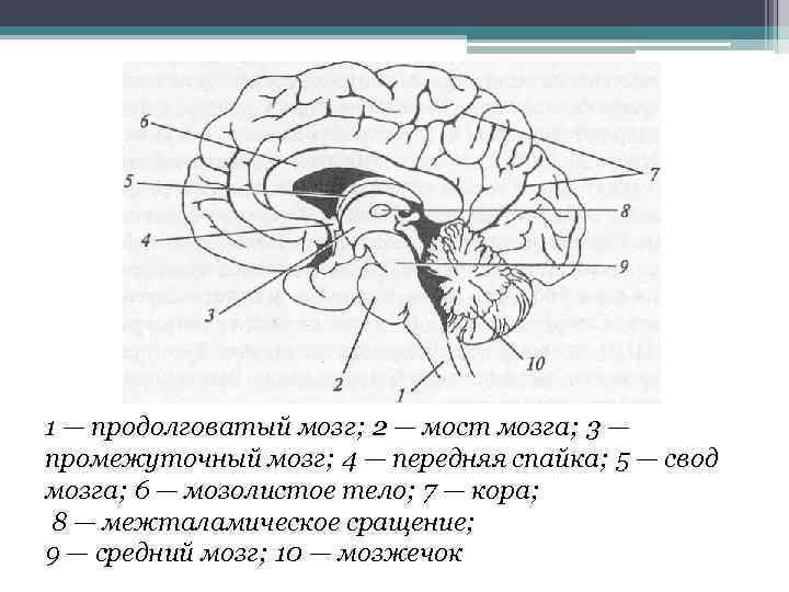 1 — продолговатый мозг; 2 — мост мозга; 3 — промежуточный мозг; 4 —