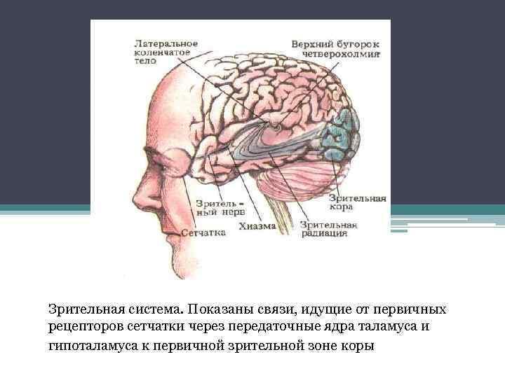 Зрительная система. Показаны связи, идущие от первичных рецепторов сетчатки через передаточные ядра таламуса и