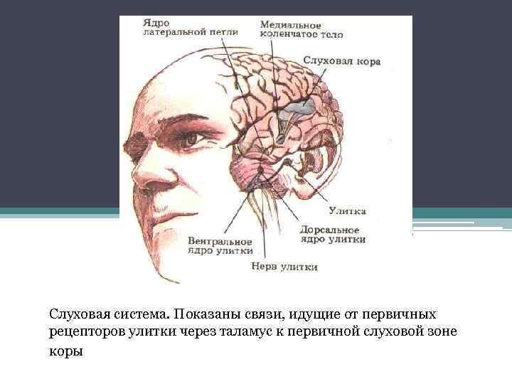 Слуховая система. Показаны связи, идущие от первичных рецепторов улитки через таламус к первичной слуховой