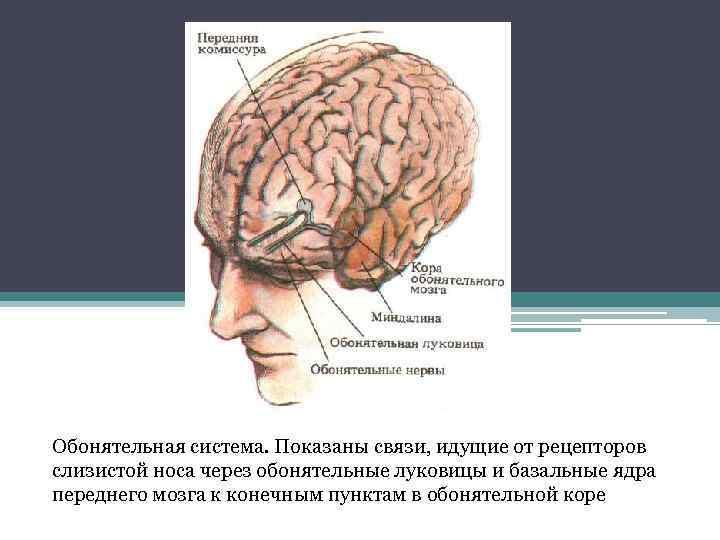 Обонятельная система. Показаны связи, идущие от рецепторов слизистой носа через обонятельные луковицы и базальные