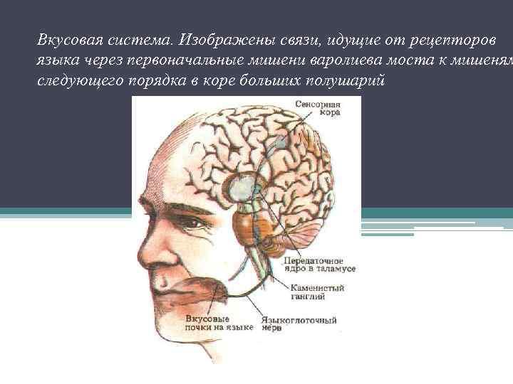 Вкусовая система. Изображены связи, идущие от рецепторов языка через первоначальные мишени варолиева моста к