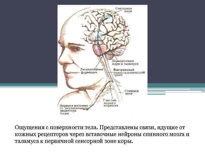 Ощущения с поверхности тела. Представлены связи, идущие от кожных рецепторов через вставочные нейроны спинного