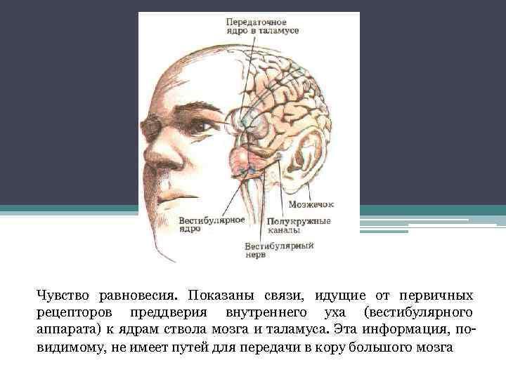 Чувство равновесия. Показаны связи, идущие от первичных рецепторов преддверия внутреннего уха (вестибулярного аппарата) к