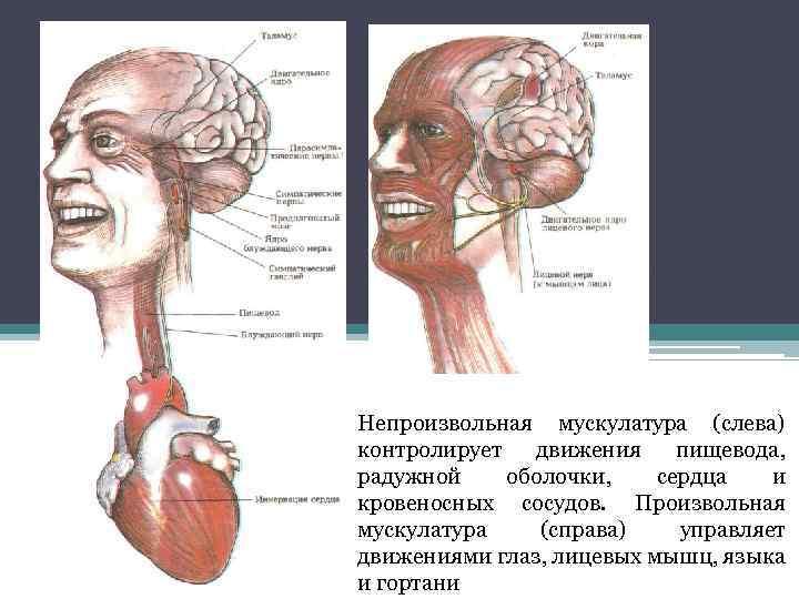 Непроизвольная мускулатура (слева) контролирует движения пищевода, радужной оболочки, сердца и кровеносных сосудов. Произвольная мускулатура