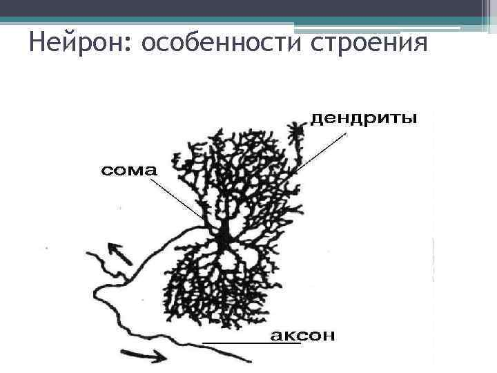 Нейрон: особенности строения