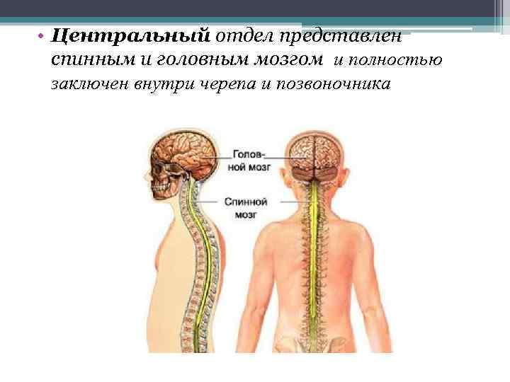 • Центральный отдел представлен спинным и головным мозгом и полностью заключен внутри черепа