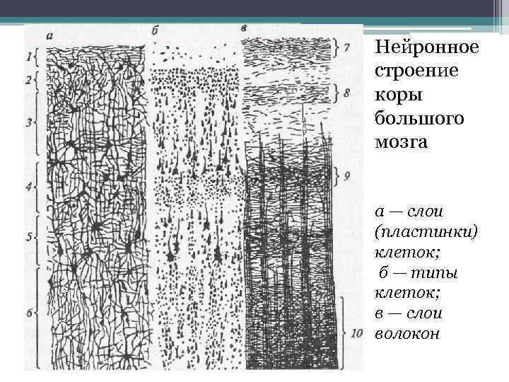 Нейронное строение коры большого мозга а — слои (пластинки) клеток; б — типы клеток;