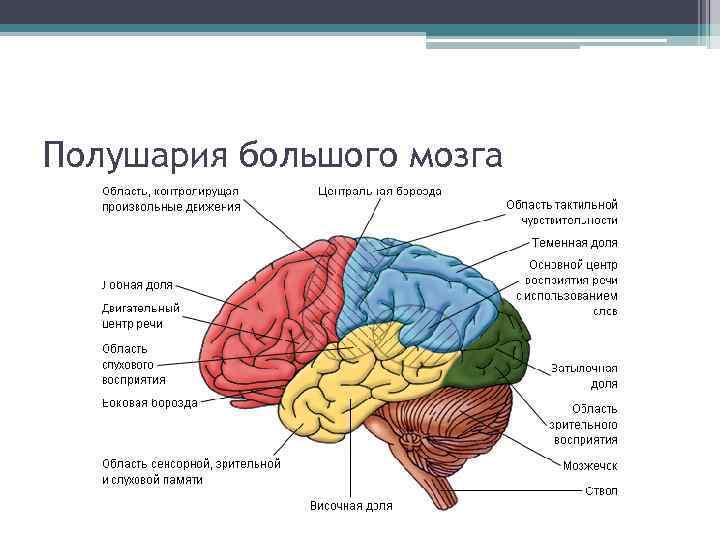 Полушария большого мозга